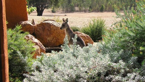 Kangaroos in the Top Paddock - Tourism TAS