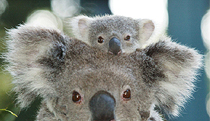 Billabong Koala And Wildlife Park - Tourism TAS