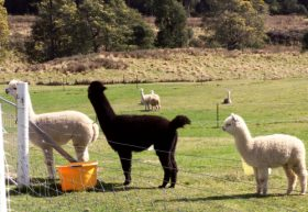 Maydena Country Cabins Accommodation  Alpaca Stud - Tourism TAS