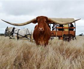 Texas Longhorn Wagon Tours and Safaris - Tourism TAS