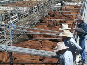 Dalrymple Sales Yards - Cattle Sales - Tourism TAS