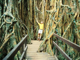 Curtain Fig Tree - Tourism TAS