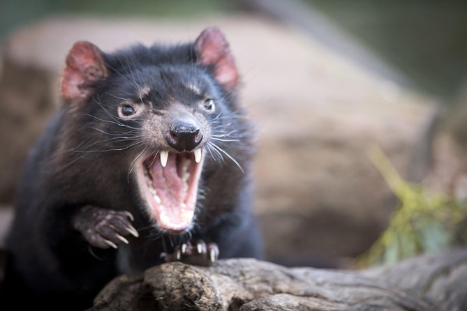 Port Arthur and Tassie Devils Active Day Tour from Hobart - Tourism TAS